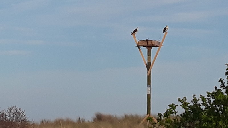 An Osprey couple nesting.