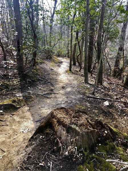 Nice dirt singletrack through pines, hardwoods and mountain laurels.