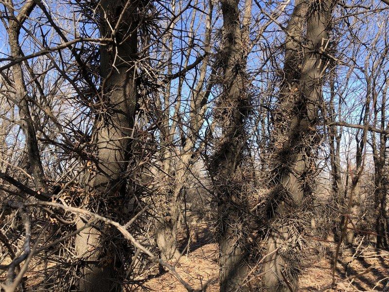 Beware the honey locust trees!