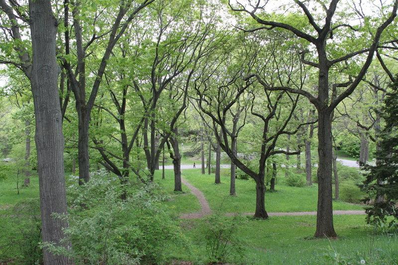 Arnold Arboretum Oaks
