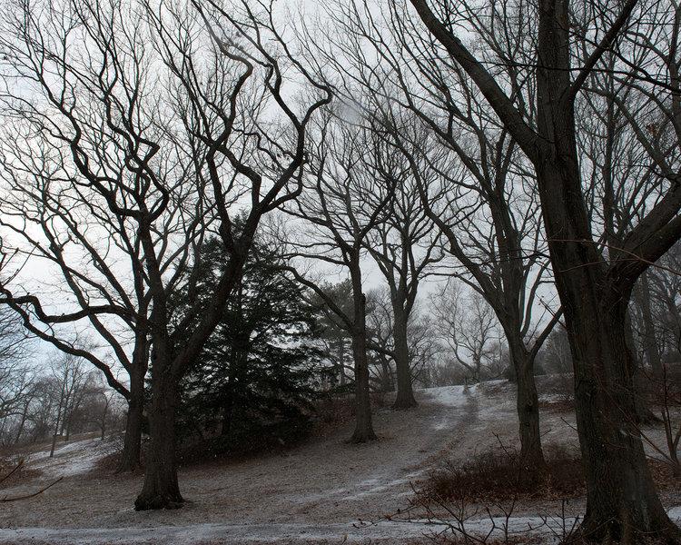 Oak Collection, Arnold Arboretum