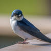 Tree Swallow (juvenile)