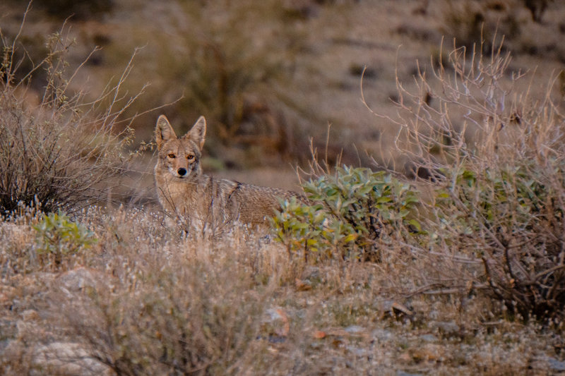 Coyote in Pima Canyon