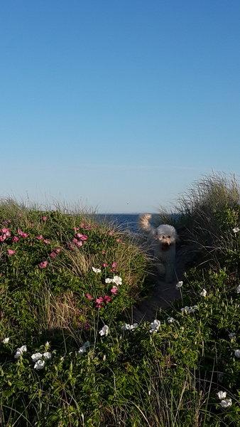 Jack in the beach rose.