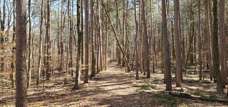 Trail climbing gradually through a dense stand of pine trees