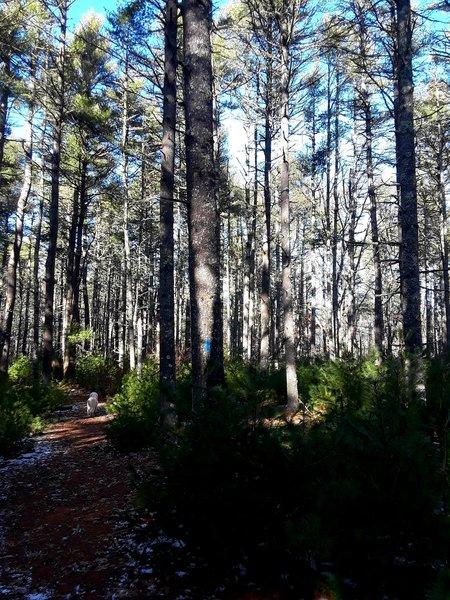 Looping through the pine wood.