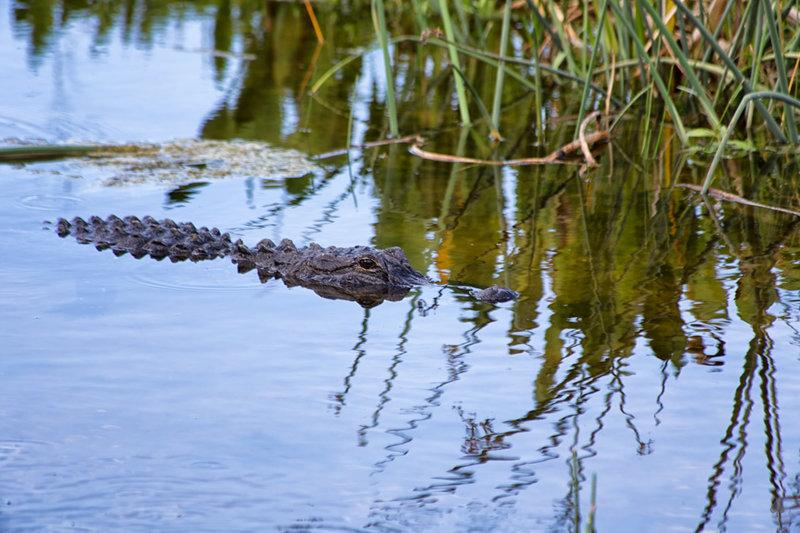 Gator at Green Cay