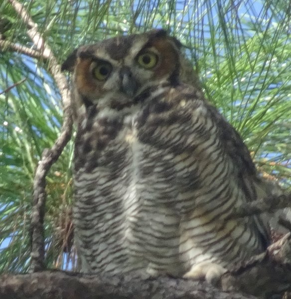 Great Horned Owl Tall Cypress Pk