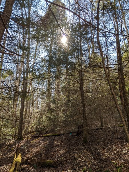 Sun peeking from behind the pines on the trail.