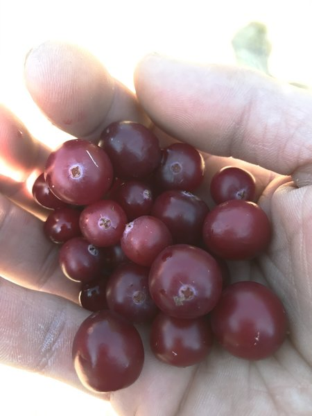 Fresh cranberries! ... tart, but delicious.