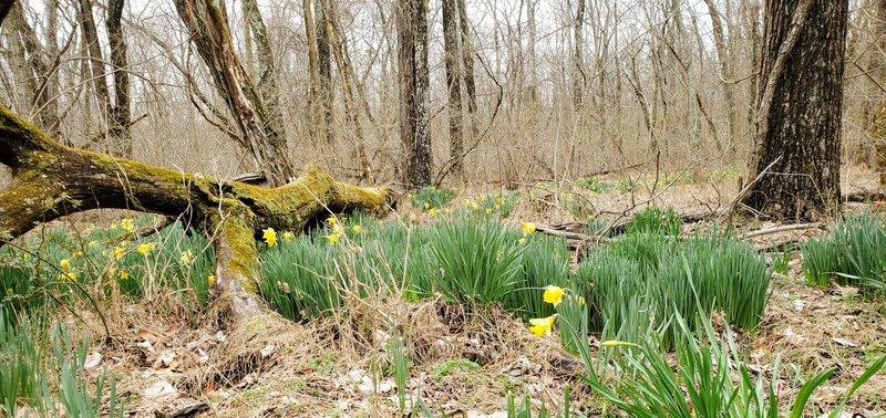 Springtime daffodils.