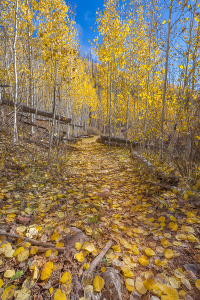 Aspen grove Fall transformation