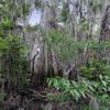Cypress Swamp at Lettuce Lake