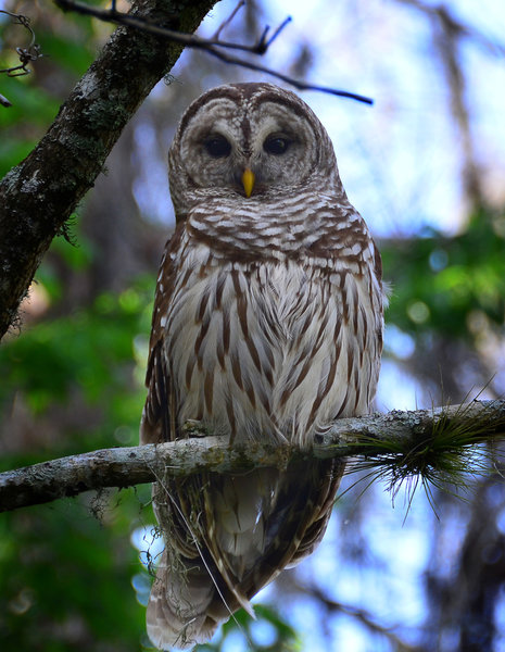 Barred Owl at Lettuce Lake