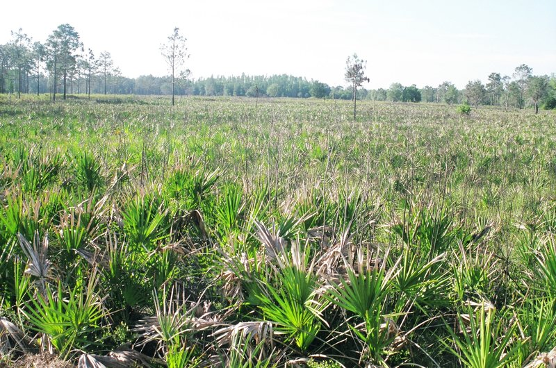 Saw palmetto prairie at Flatwoods Loop