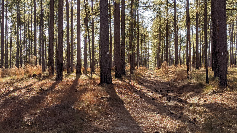 A straight-away through a pine forest in the evening.