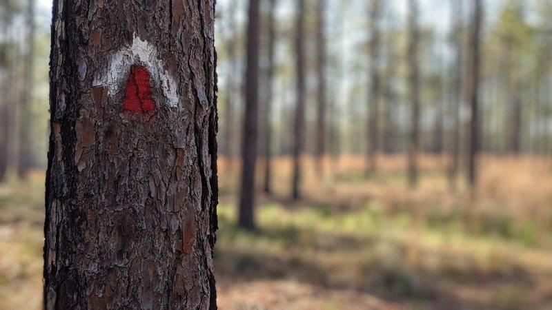 Trail blazes on a pine tree.