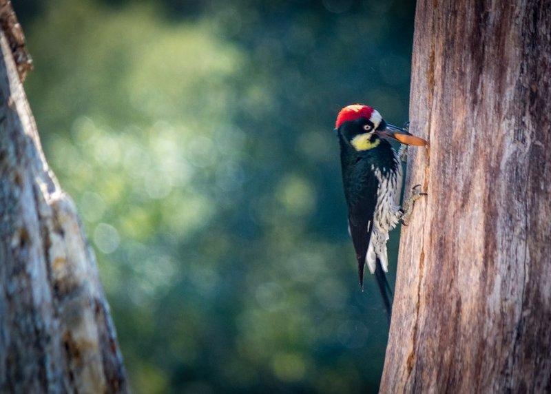 Redheaded Wood Pecker No2