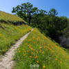 Trail through Poppies