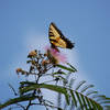 Butterfly sitting on a Mimosa Flower