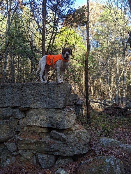 Stonework on Miller Lane near abandoned farm area. Dog for scale!