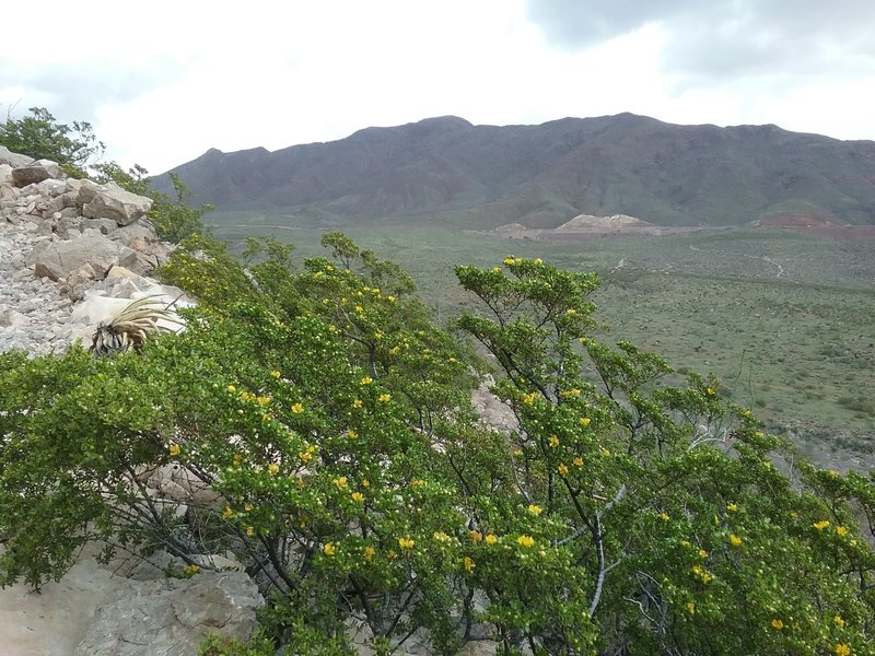 Creosote bush in bloom and Franklin Mountains