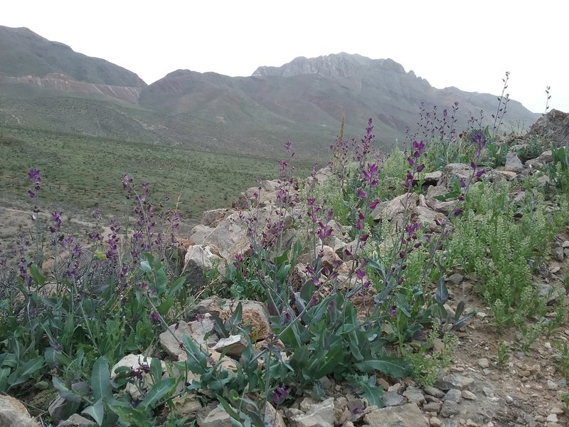 Lyreleaf Jewelflowers and Franklin Mountains