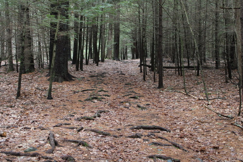 walk through pine trees forest at beginning of trail.
