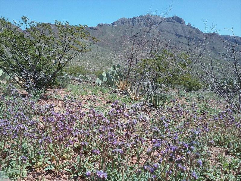 Phacelias in bloom and view of South Franklin Peak