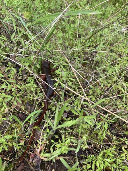 Saw lots of salamanders.