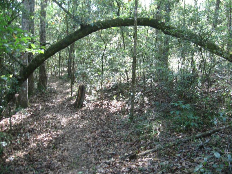 """Live """"horseshoe"""" tree to hike under!"""