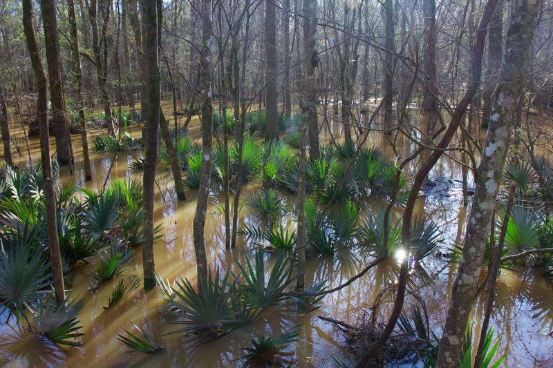 Palmettos in bloom in Congaree National Park