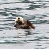 Sea Otter, Kenai Fjords National Park