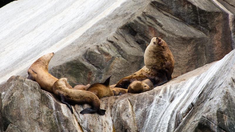 Sea Lions, Kenai Fjords National Park