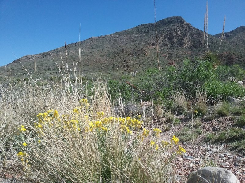 Physeria and Franklin Mountains