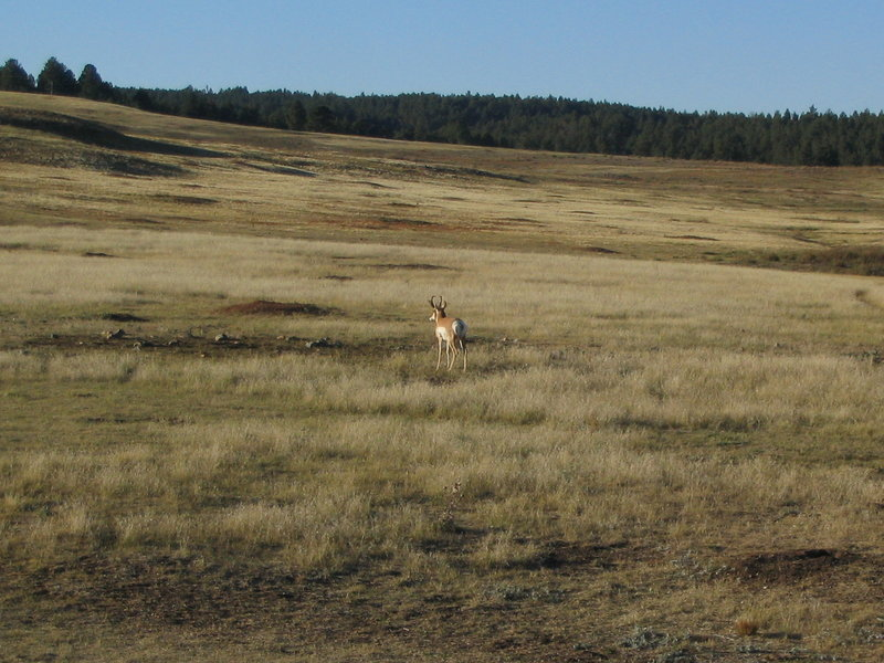 Pronghorn and Prairie Dogs, Wind Cave National Park, South Dakota