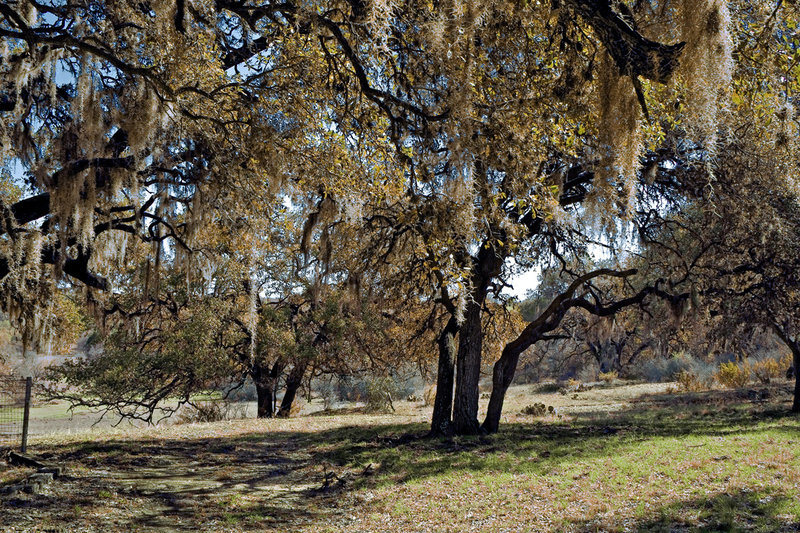 Spanish Moss | Queen Ranch