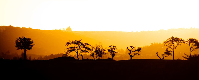 Maui Trees at Sunrise