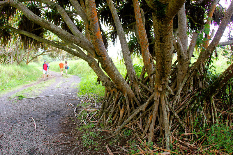 Passing Hala trees