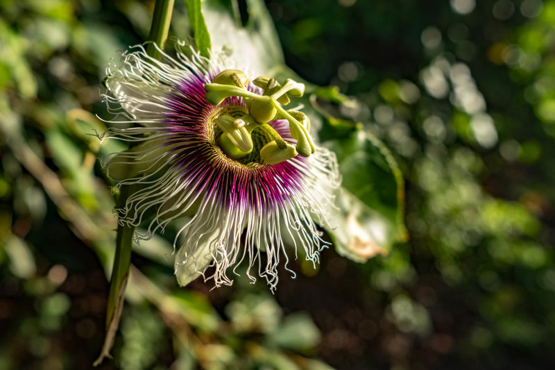 Kalalau Beach Flower