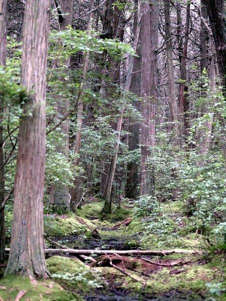 Atlantic White Cedar Swamp (Wellfleet, MA)