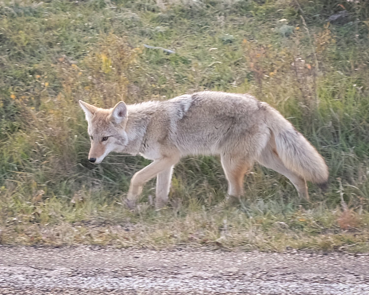 Coyote, Theodore Roosevelt National Park