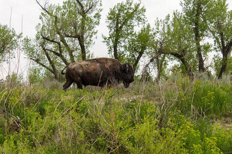 Bison near the Little Missouri River, Theodore Roosevelt National Park, North Dakota