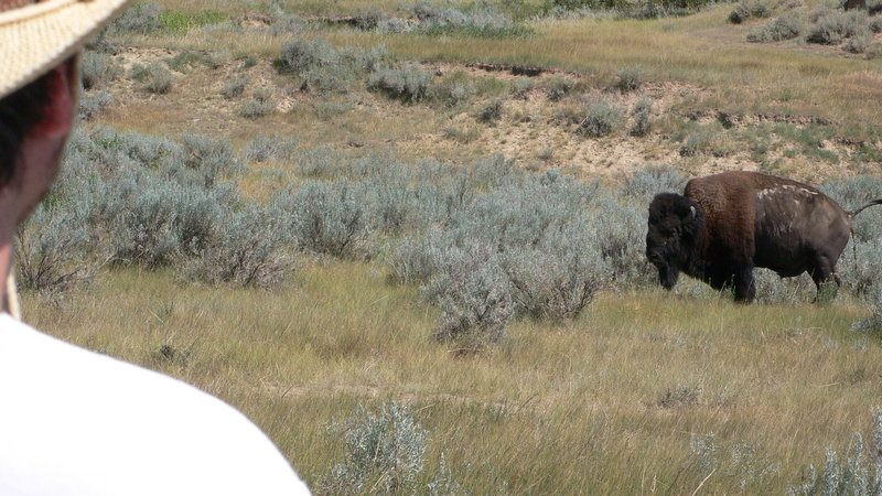 bison pooping