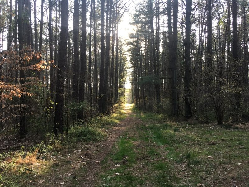 Deja Vu Red Blaze through Pine Forest