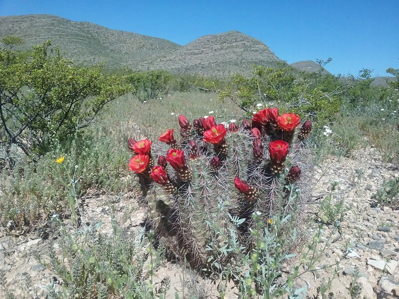 Claret cup cactus and  view of North Anthony's Nose
