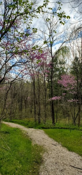 Blooming redbud trees in a grassy valley