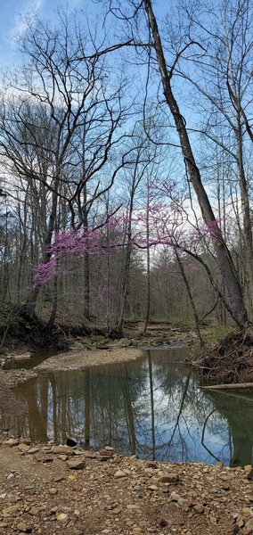Redbud trees arching over the small river