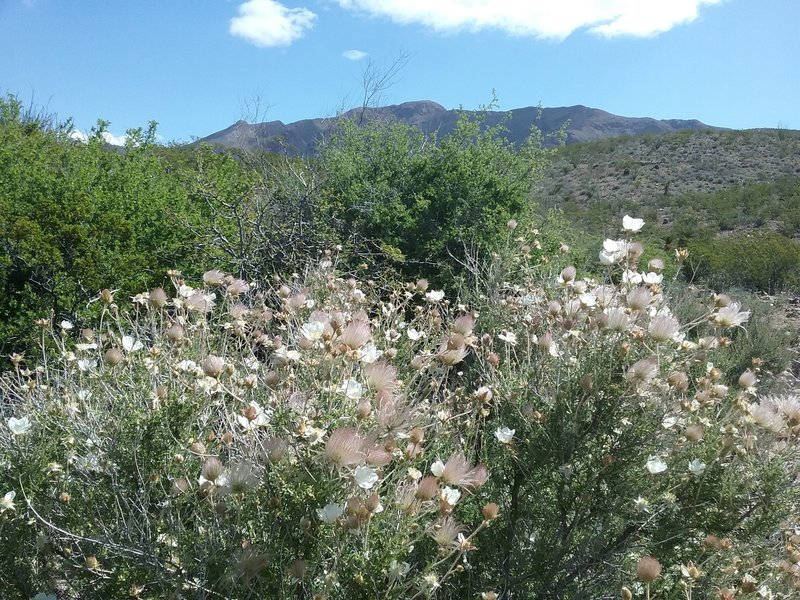 Fallugia paradoxa in bloom and view of Franklin Mountains.