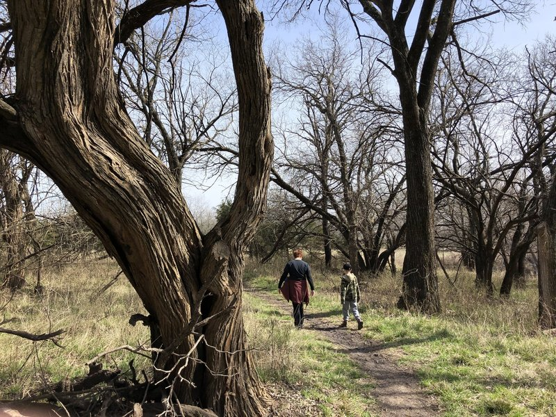 It's interesting to see all these old, twisted trees that have survived hundreds of floods in this area from the Cowskin Creek.